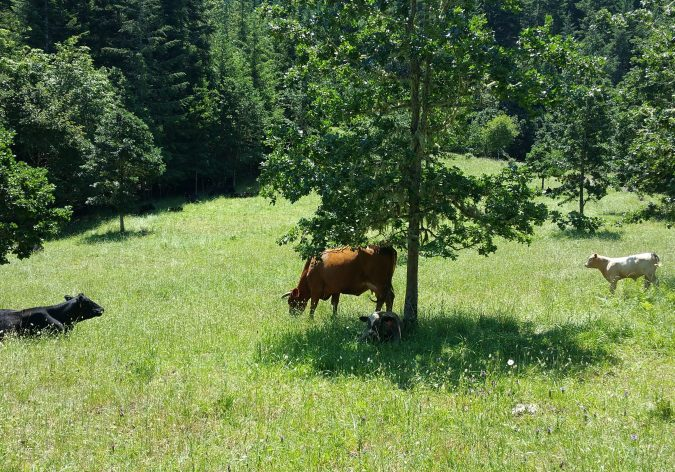 Cows grazing in a sunny, young oak savanna with lush green grass on Crestmont Land Trust