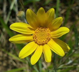 A bright yellow flower of Oregon Sunshine (Eriophyllum lanatum) blossoming on Crestmont Land Trust