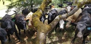 Multiple Cows looking up at the camera through a branched oak tree